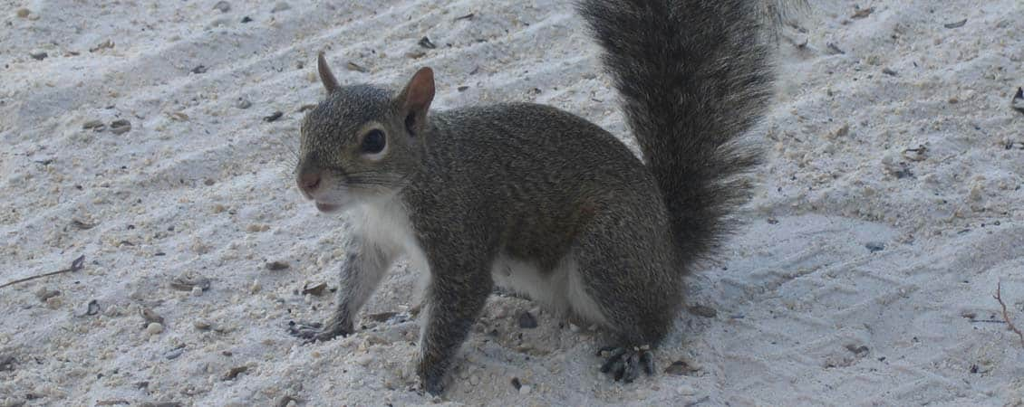 banner_karibik_florida_key_largo_bay_harbour_lodge_squirrel