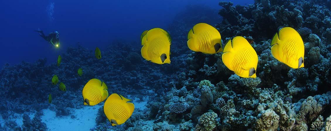 banner_rotes_meer_aegypten_tauchen_falterfische