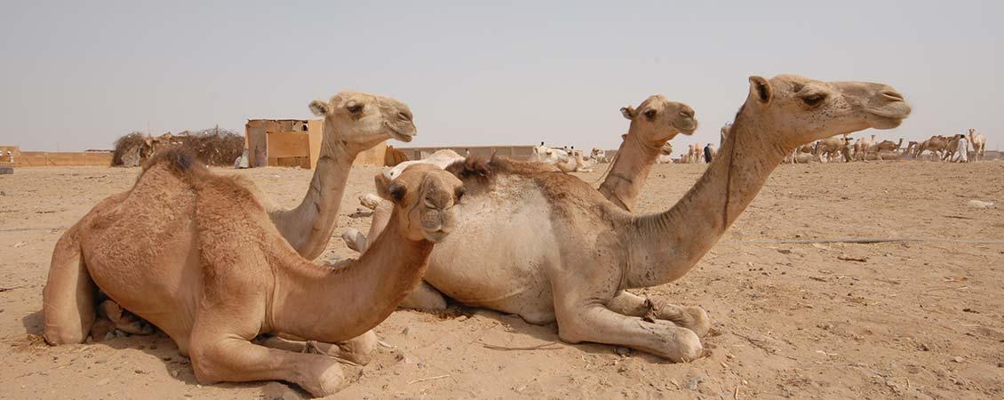 banner_rotes_meer_suedaegypten_berenice_kamel