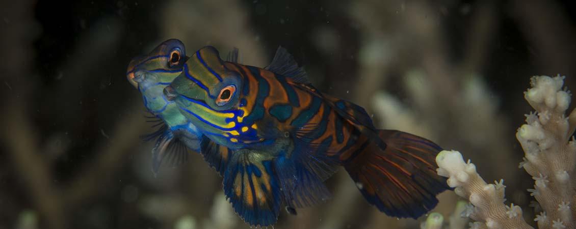 banner_philippinen_bohol_anda_mandarinenfisch