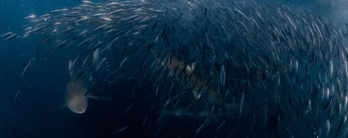 banner_suedafrika_sardine_run_tauchen_2